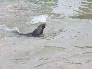 Ein Seehund schwimmt durch das Hafenbecken