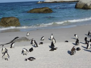 Die Pinguine in Simon's Town