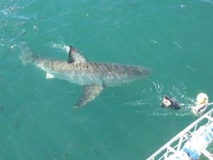 Der weiße Hai von oben