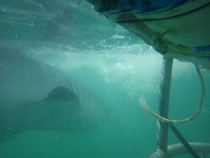 Zum greifen Nahe: Der weiße Hai direkt an unserem Käfig