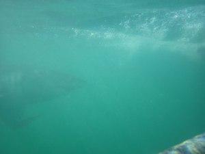 Die Schnauze des weißen Haies ist unverkennbar