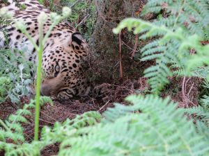 Ein Leopard aus nächster Nähe